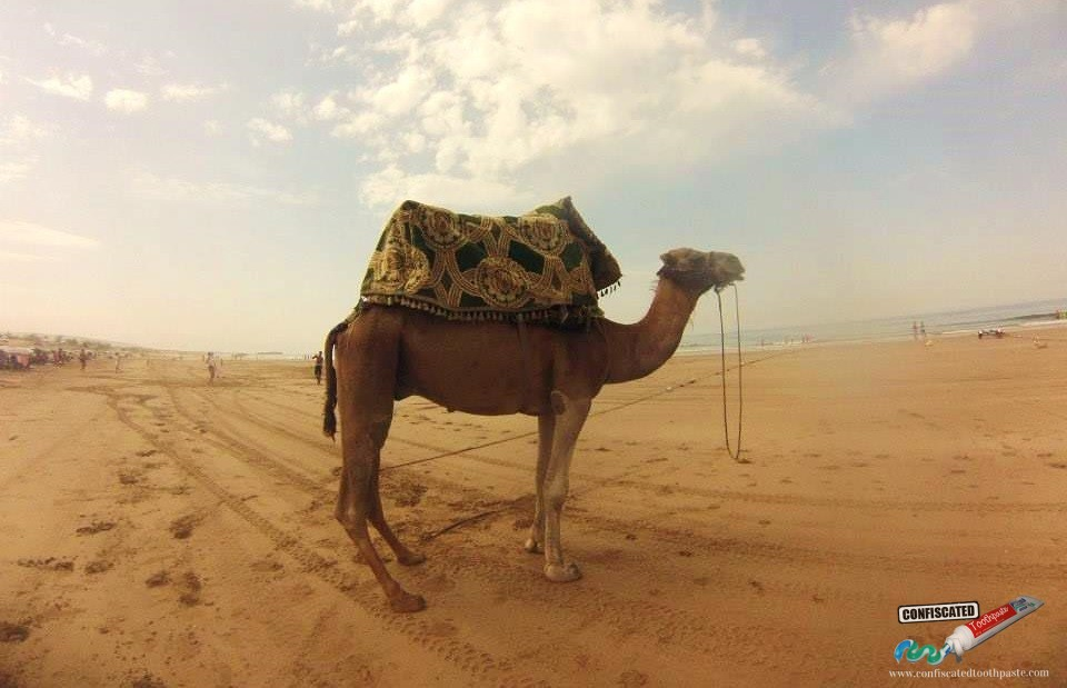 Camel on Taghazout Beach, Morocco