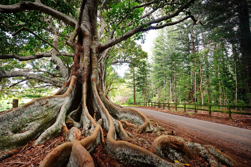 Tree on Norfolk Island, Australia